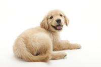 口をあけて笑う仔犬 02322009495| 写真素材・ストックフォト・画像・イラスト素材|アマナイメージズ