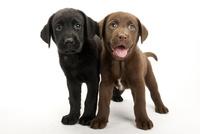 2頭の仔犬 02322009507| 写真素材・ストックフォト・画像・イラスト素材|アマナイメージズ