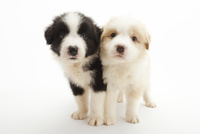 2頭の仔犬 02322009508| 写真素材・ストックフォト・画像・イラスト素材|アマナイメージズ