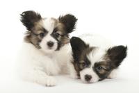 2頭の仔犬 02322009511| 写真素材・ストックフォト・画像・イラスト素材|アマナイメージズ