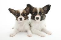 2頭の仔犬 02322009514| 写真素材・ストックフォト・画像・イラスト素材|アマナイメージズ
