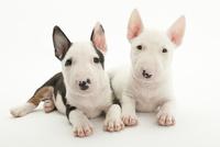 2頭の仔犬 02322009518| 写真素材・ストックフォト・画像・イラスト素材|アマナイメージズ