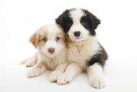 2頭の仔犬 02322009519| 写真素材・ストックフォト・画像・イラスト素材|アマナイメージズ