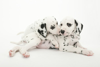 2頭の仔犬 02322009522| 写真素材・ストックフォト・画像・イラスト素材|アマナイメージズ