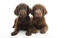 2頭の仔犬 02322009524| 写真素材・ストックフォト・画像・イラスト素材|アマナイメージズ