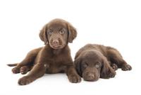 2頭の仔犬 02322009525| 写真素材・ストックフォト・画像・イラスト素材|アマナイメージズ