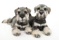 2頭の仔犬 02322009528| 写真素材・ストックフォト・画像・イラスト素材|アマナイメージズ