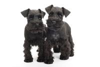 2頭の仔犬 02322009531| 写真素材・ストックフォト・画像・イラスト素材|アマナイメージズ