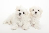 2頭の仔犬 02322009534| 写真素材・ストックフォト・画像・イラスト素材|アマナイメージズ