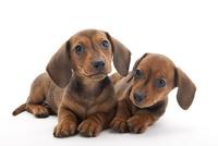 2頭の仔犬 02322009538| 写真素材・ストックフォト・画像・イラスト素材|アマナイメージズ