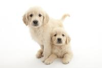 2頭の仔犬 02322009544| 写真素材・ストックフォト・画像・イラスト素材|アマナイメージズ