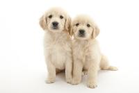 2頭の仔犬 02322009545| 写真素材・ストックフォト・画像・イラスト素材|アマナイメージズ