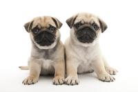 2頭の仔犬 02322009551| 写真素材・ストックフォト・画像・イラスト素材|アマナイメージズ