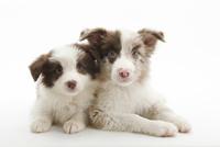 2頭の仔犬 02322009552| 写真素材・ストックフォト・画像・イラスト素材|アマナイメージズ