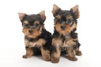 2頭の仔犬 02322009553| 写真素材・ストックフォト・画像・イラスト素材|アマナイメージズ