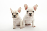 2頭の仔犬 02322009556| 写真素材・ストックフォト・画像・イラスト素材|アマナイメージズ