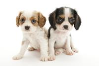 2頭の仔犬 02322009560| 写真素材・ストックフォト・画像・イラスト素材|アマナイメージズ