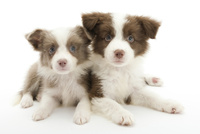 2頭の仔犬 02322009561| 写真素材・ストックフォト・画像・イラスト素材|アマナイメージズ