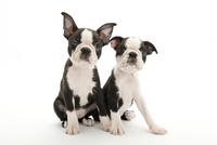 2頭の仔犬 02322009566| 写真素材・ストックフォト・画像・イラスト素材|アマナイメージズ