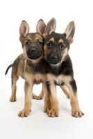 2頭の仔犬 02322009569| 写真素材・ストックフォト・画像・イラスト素材|アマナイメージズ