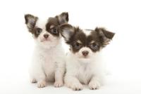 2頭の仔犬 02322009571| 写真素材・ストックフォト・画像・イラスト素材|アマナイメージズ