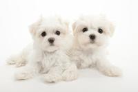 2頭の仔犬 02322009572| 写真素材・ストックフォト・画像・イラスト素材|アマナイメージズ