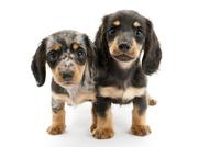 2頭の仔犬 02322009573| 写真素材・ストックフォト・画像・イラスト素材|アマナイメージズ