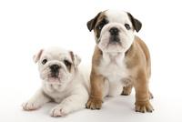 2頭の仔犬 02322009575| 写真素材・ストックフォト・画像・イラスト素材|アマナイメージズ