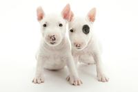 2頭の仔犬 02322009577| 写真素材・ストックフォト・画像・イラスト素材|アマナイメージズ