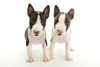 2頭の仔犬 02322009578| 写真素材・ストックフォト・画像・イラスト素材|アマナイメージズ