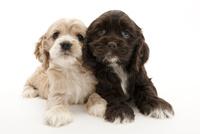 2頭の仔犬 02322009580| 写真素材・ストックフォト・画像・イラスト素材|アマナイメージズ