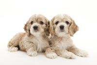 2頭の仔犬 02322009581| 写真素材・ストックフォト・画像・イラスト素材|アマナイメージズ