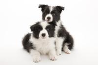 2頭の仔犬 02322009582| 写真素材・ストックフォト・画像・イラスト素材|アマナイメージズ