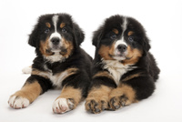 2頭の仔犬 02322009583| 写真素材・ストックフォト・画像・イラスト素材|アマナイメージズ