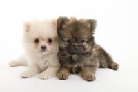2頭の仔犬 02322009584| 写真素材・ストックフォト・画像・イラスト素材|アマナイメージズ