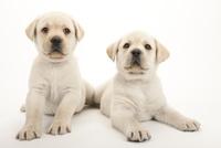 2頭の仔犬 02322009586| 写真素材・ストックフォト・画像・イラスト素材|アマナイメージズ