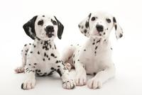 2頭の仔犬 02322009588| 写真素材・ストックフォト・画像・イラスト素材|アマナイメージズ