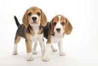 2頭の仔犬 02322009600| 写真素材・ストックフォト・画像・イラスト素材|アマナイメージズ