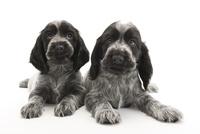 2頭の仔犬 02322009602| 写真素材・ストックフォト・画像・イラスト素材|アマナイメージズ