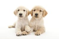 2頭の仔犬 02322009603| 写真素材・ストックフォト・画像・イラスト素材|アマナイメージズ