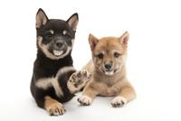2頭の仔犬 02322009606| 写真素材・ストックフォト・画像・イラスト素材|アマナイメージズ