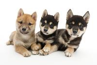 3頭の仔犬 02322009614| 写真素材・ストックフォト・画像・イラスト素材|アマナイメージズ