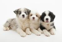 3頭の仔犬 02322009615| 写真素材・ストックフォト・画像・イラスト素材|アマナイメージズ