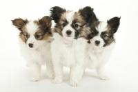 3頭の仔犬 02322009616| 写真素材・ストックフォト・画像・イラスト素材|アマナイメージズ