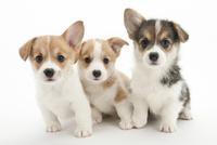 3頭の仔犬 02322009618| 写真素材・ストックフォト・画像・イラスト素材|アマナイメージズ