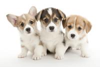 3頭の仔犬 02322009620| 写真素材・ストックフォト・画像・イラスト素材|アマナイメージズ