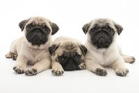 3頭の仔犬 02322009622| 写真素材・ストックフォト・画像・イラスト素材|アマナイメージズ