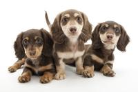 3頭の仔犬 02322009625| 写真素材・ストックフォト・画像・イラスト素材|アマナイメージズ