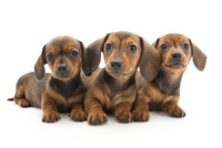 3頭の仔犬 02322009626| 写真素材・ストックフォト・画像・イラスト素材|アマナイメージズ