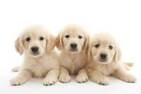 3頭の仔犬 02322009630| 写真素材・ストックフォト・画像・イラスト素材|アマナイメージズ